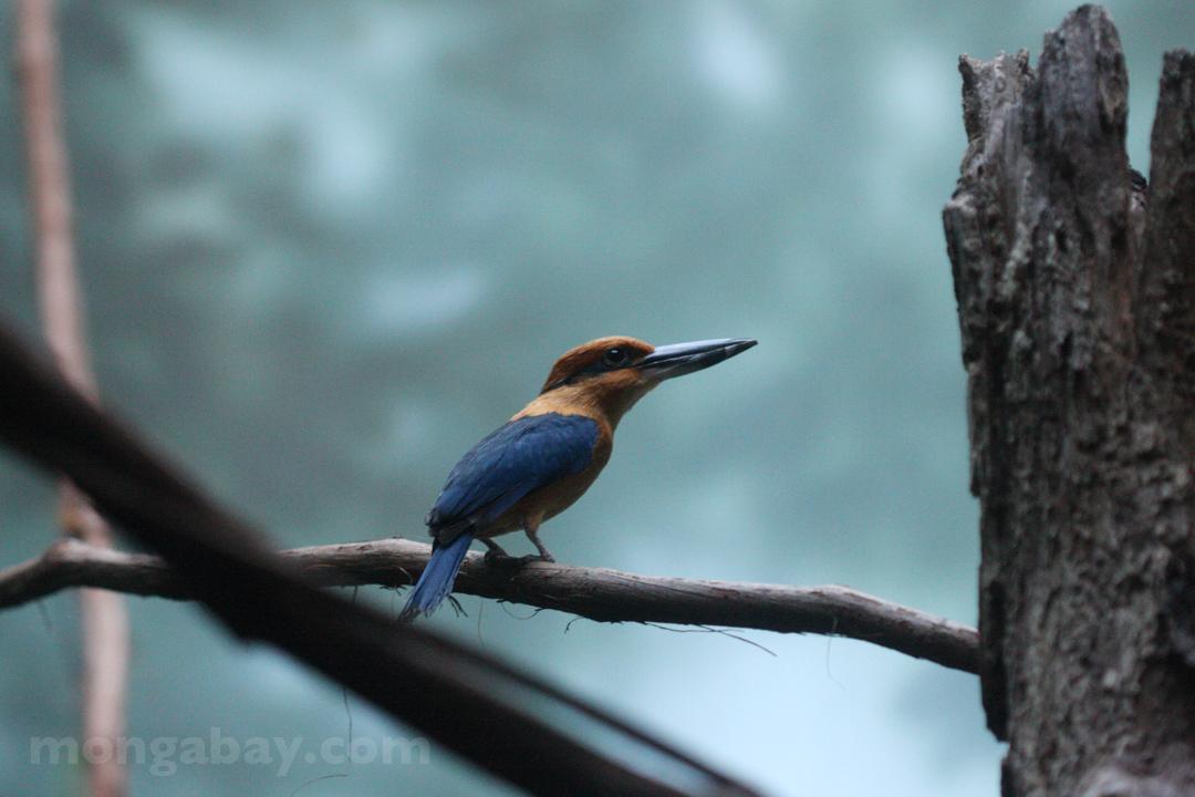 Rainforest birds: Micronesian Kingfisher