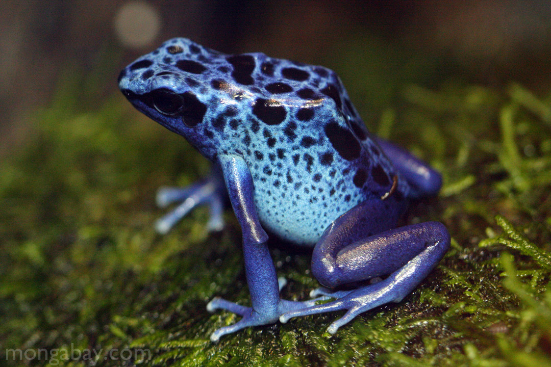 rainforest frogs blue arrow poison frog from suriname