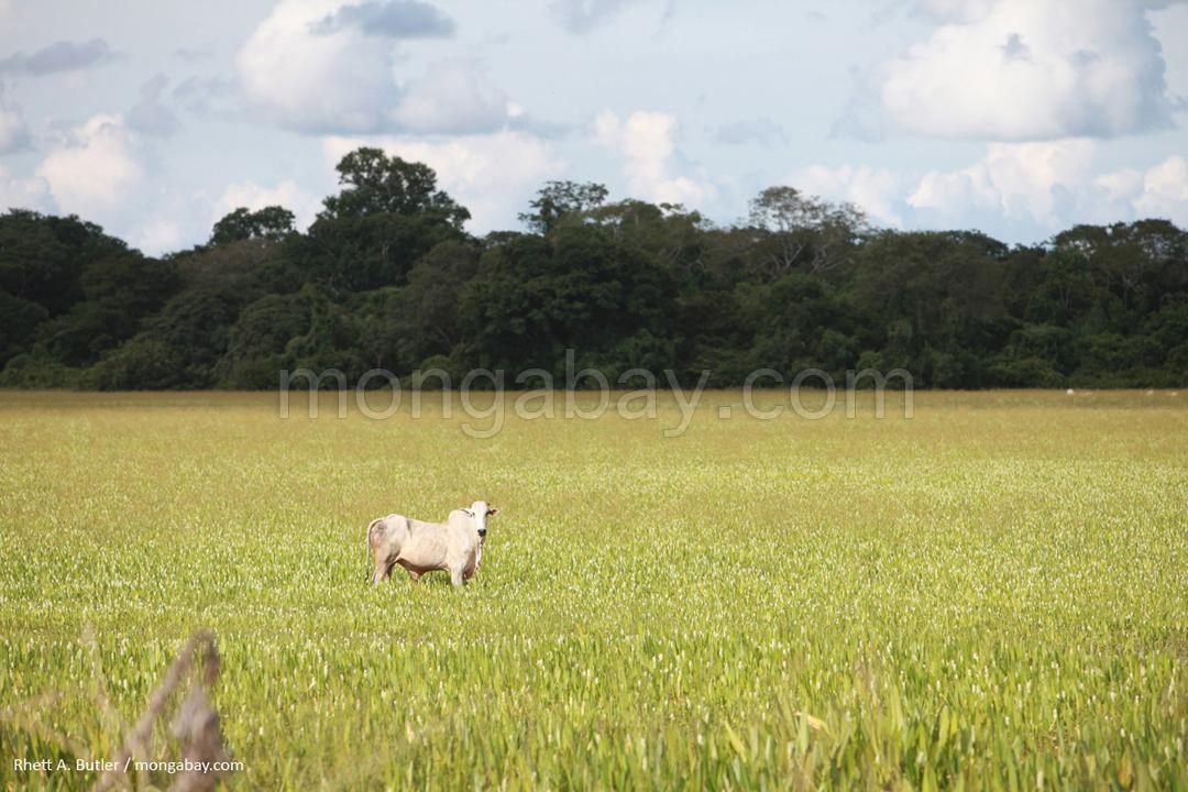 Rinderhaltung im brasilianischen Regenwald