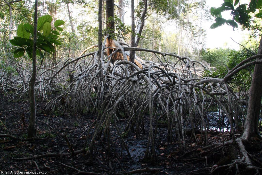Mangrovenwurzeln in Gabun