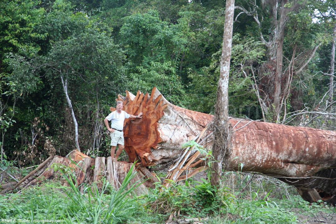 Vor kurzem geschlagener Regenwaldbaum