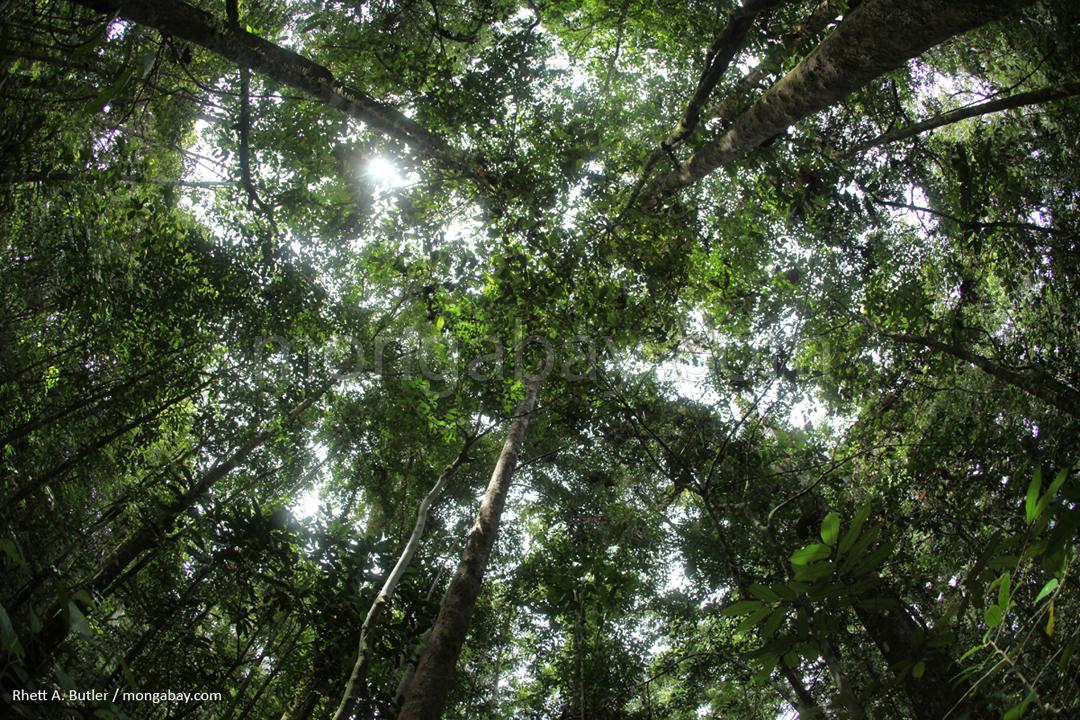 Regenwald im Gunung Palung-Nationalpark im indonesischen Teil Borneos
