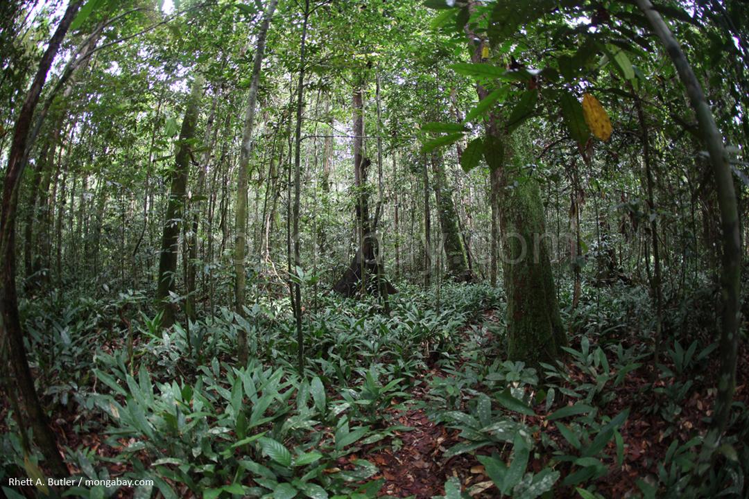 Regenwald im Gunung Palung-Nationalpark in Kalimantan