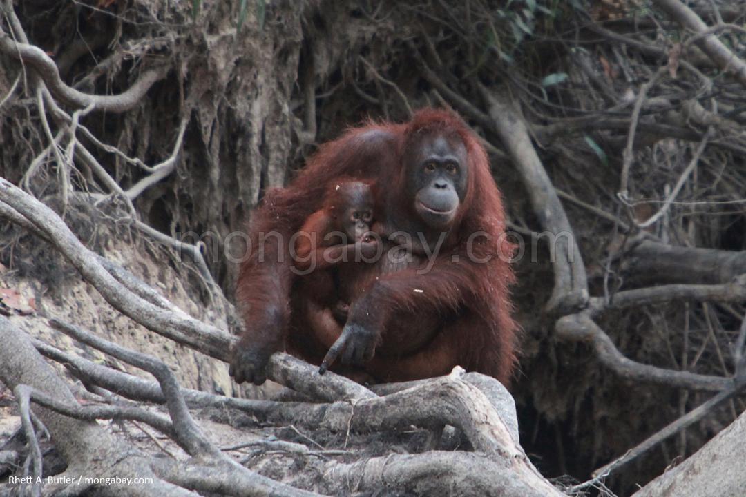 Orang-Utan-Mutter mit Baby auf Borneo