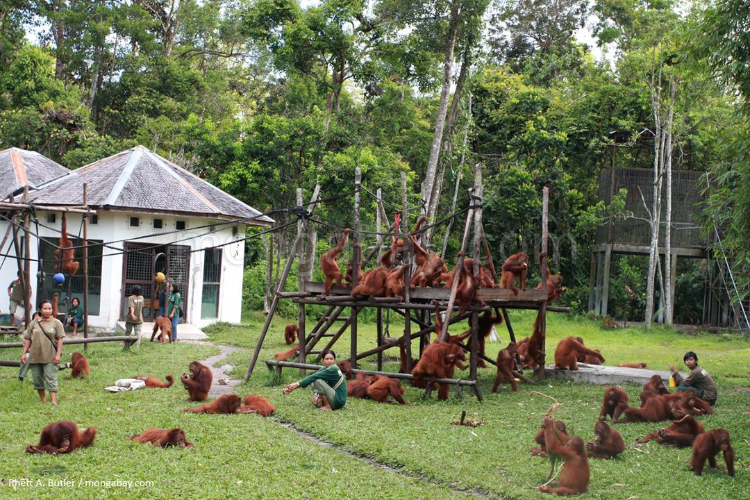 Aufgrund von Abholzung für die Palmöl- und Holzproduktion verwaiste Orang-Utans