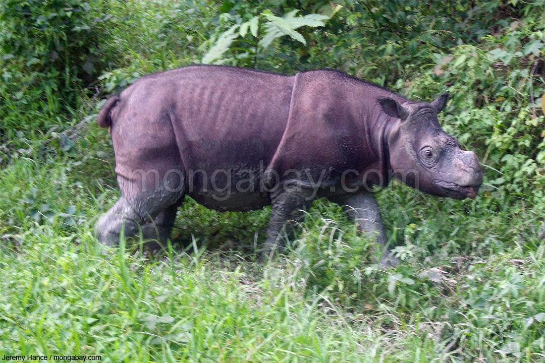 Sumatra-Nashorn auf Borneo