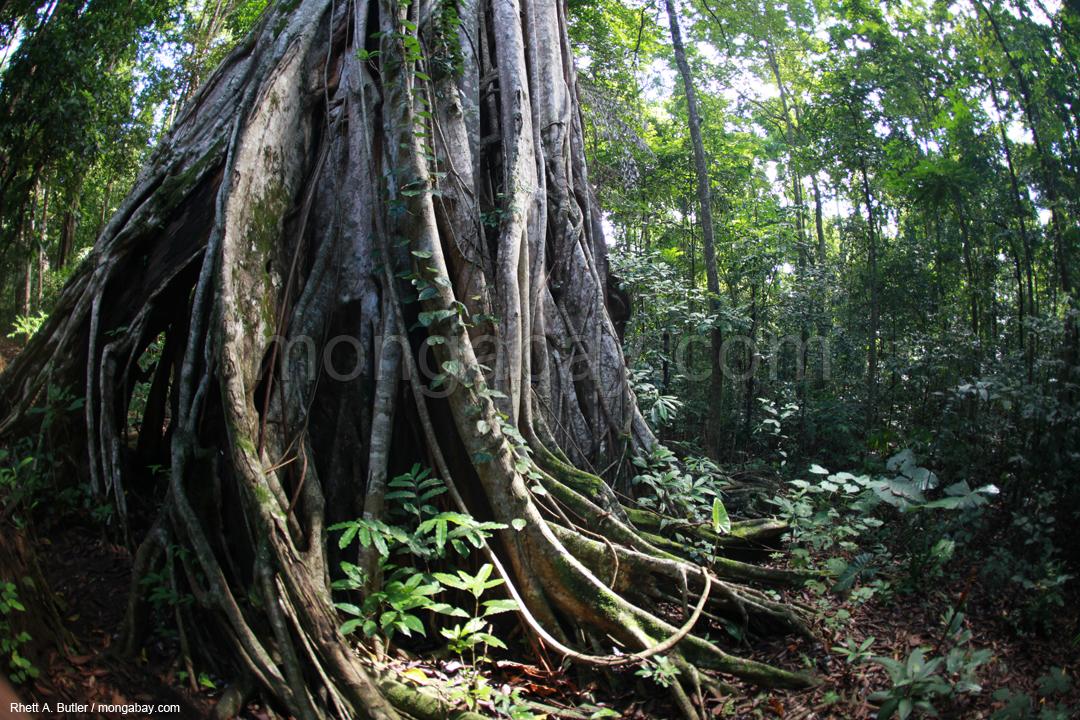 Sulawesi Slideshow: Strangler fig in Tangkoko