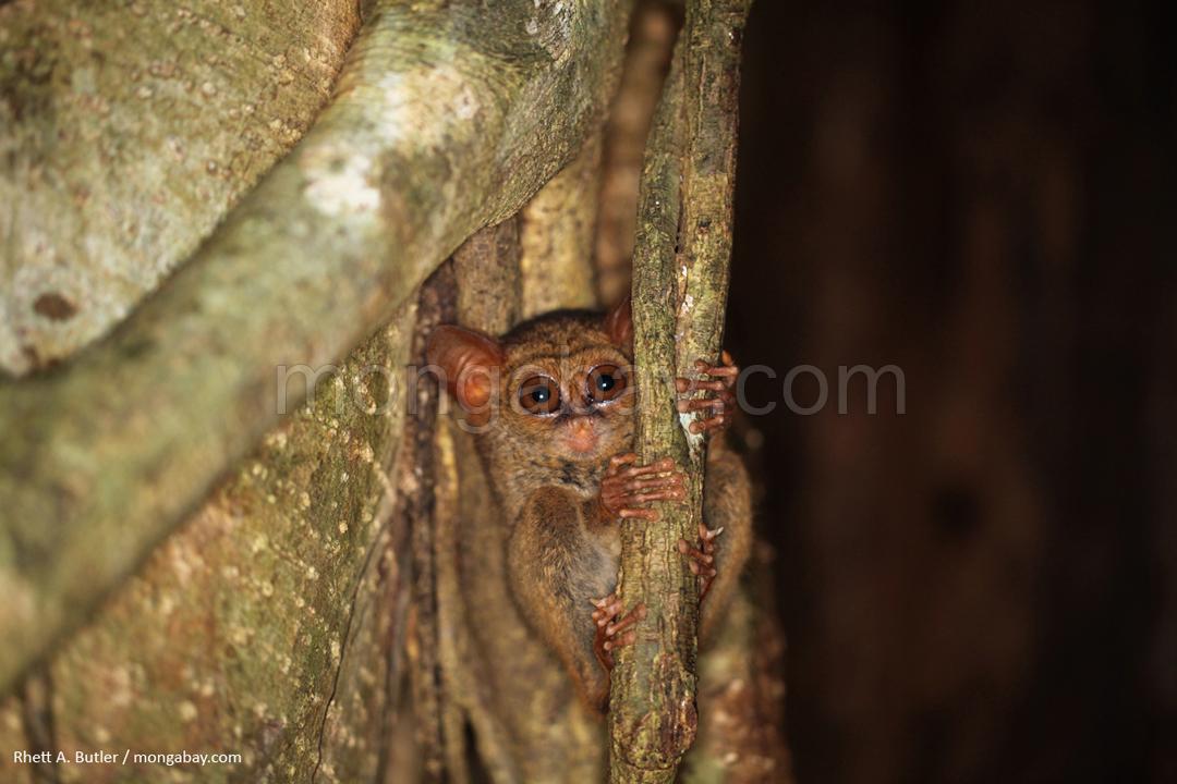 Einer der kleinsten Primaten der Erde, der Tarsier, lebt auf Sulawesi