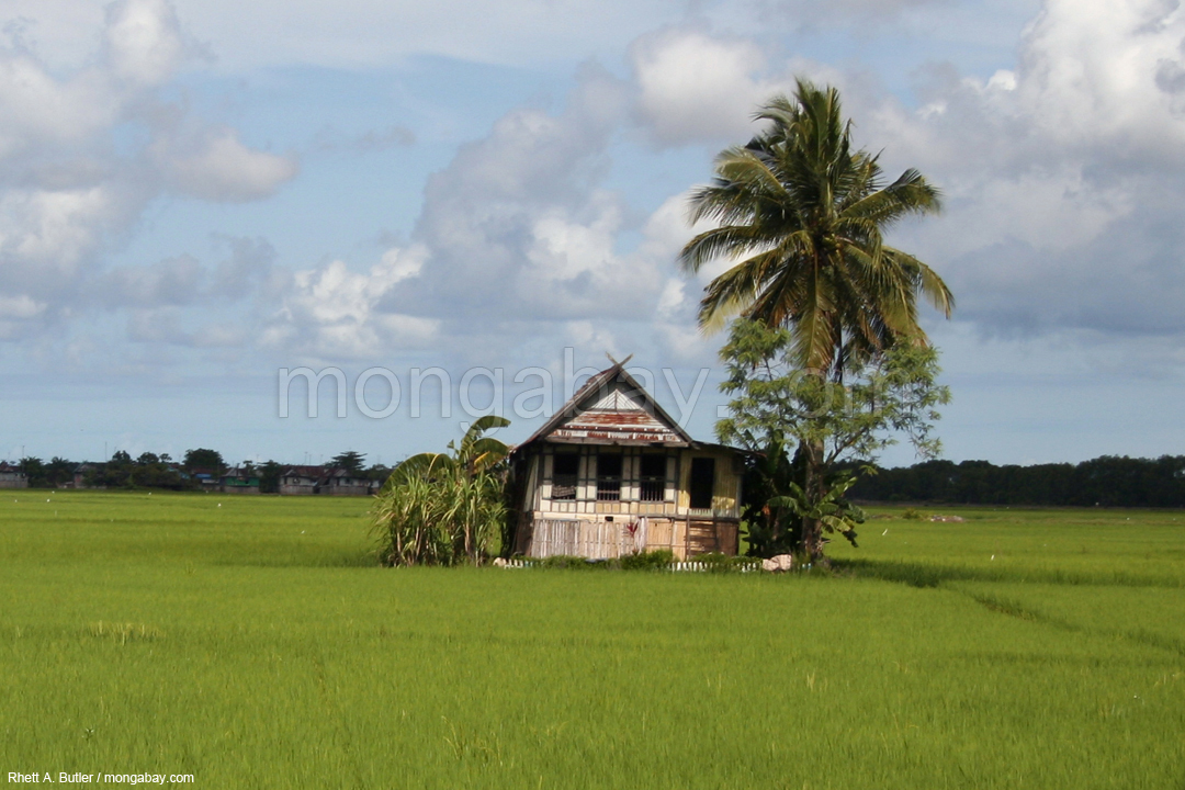 Haus eines Bugis-Stammesangehörigen zwischen Reisfeldern