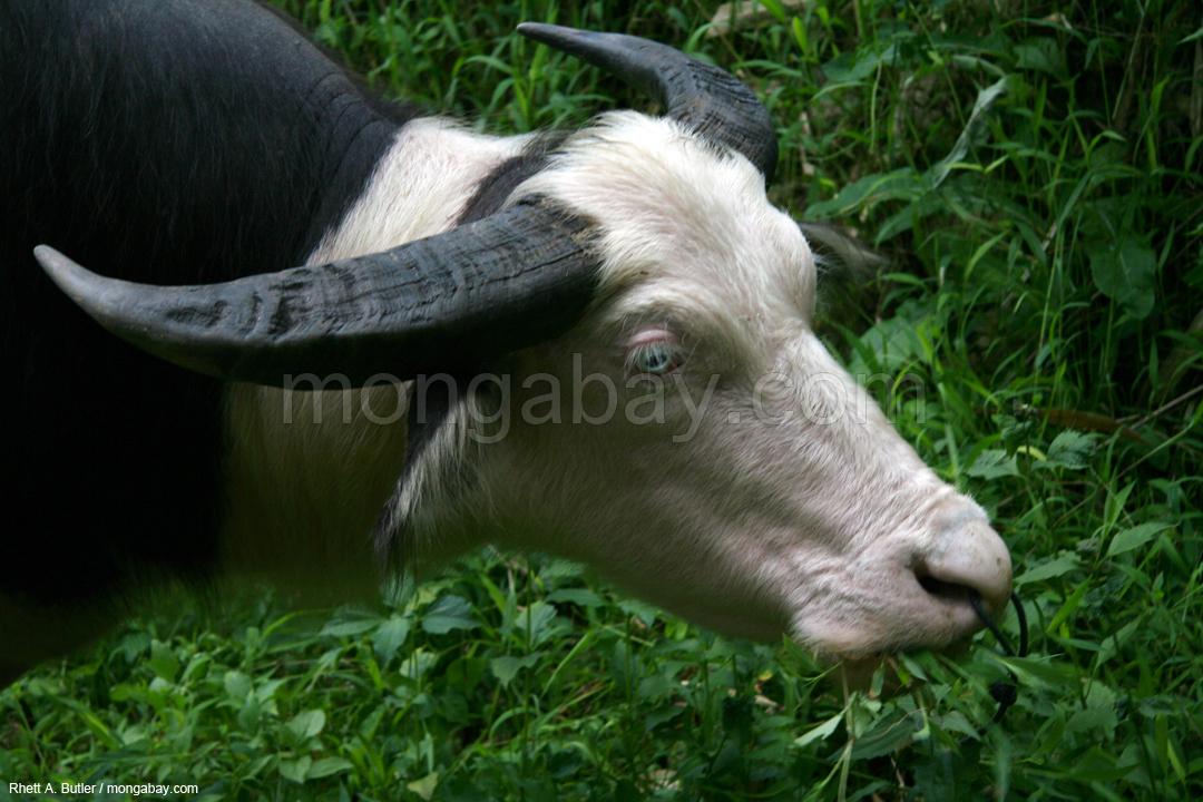Gezähmter Wasserbüffel in Sulawesi