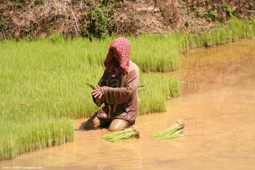 Eine Frau arbeitet in einem Reisfeld in Südsulawesi.