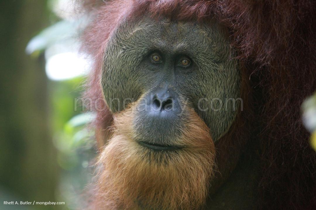 Männlicher Sumatra-Orang-Utan