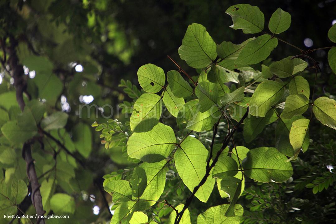 Regenwald auf Sumatra