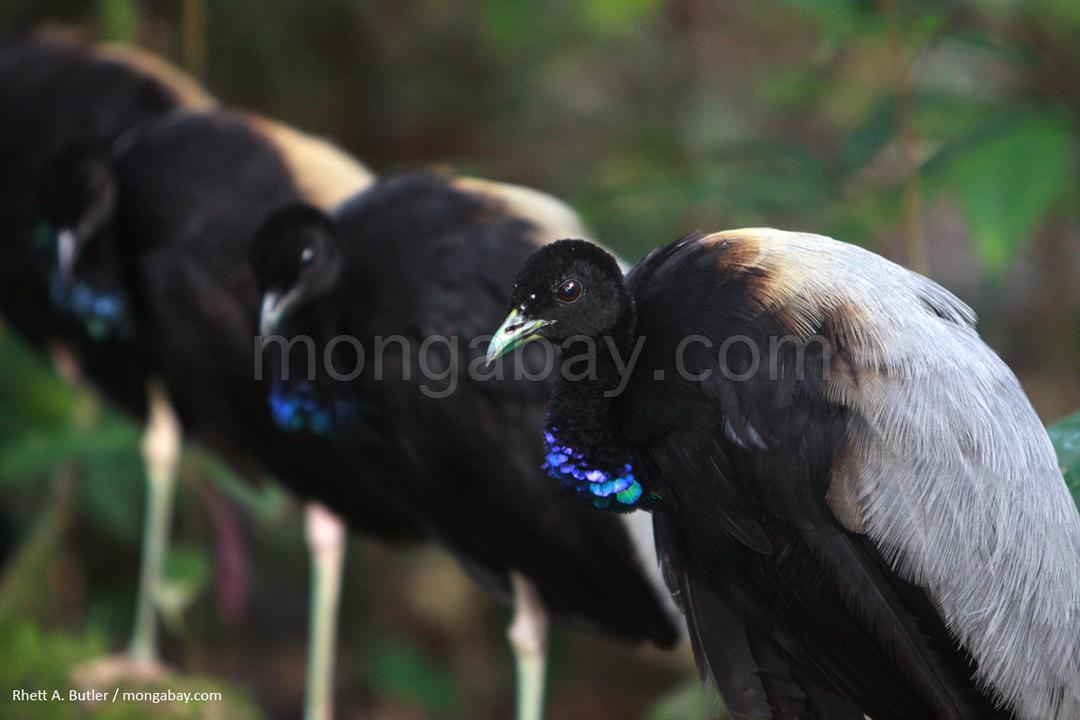 Grauflügel-Trompetervögel in Surinam