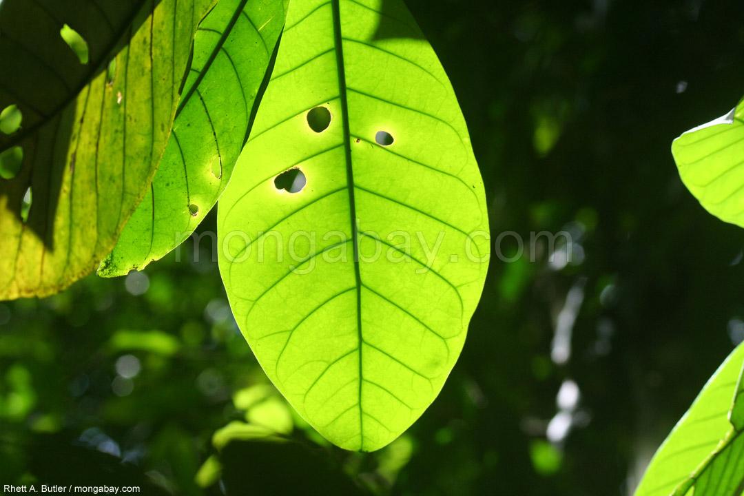Regenwaldblatt