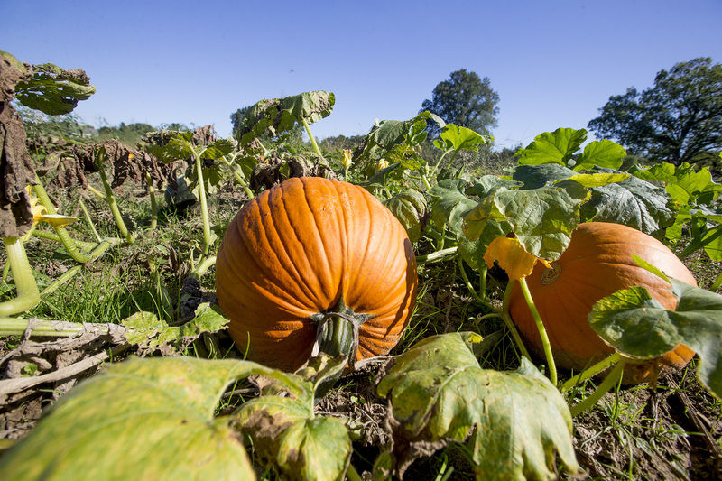 South Bend corn mazes set for fall frolic