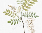 Vintage Plant Illustration White False Acacia Printable Botanical Wall Art PNG for Wedding Invitations, Card Making, Decoupage, Crafts...