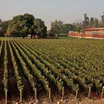 Rows of Bordeaux grape varieties in Almaviva's vineyard in Chile's Puente Alto