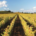 Rows of Chardonnay vines, golden in the sunlight, in the Ramey block in Hyde Vineyard.