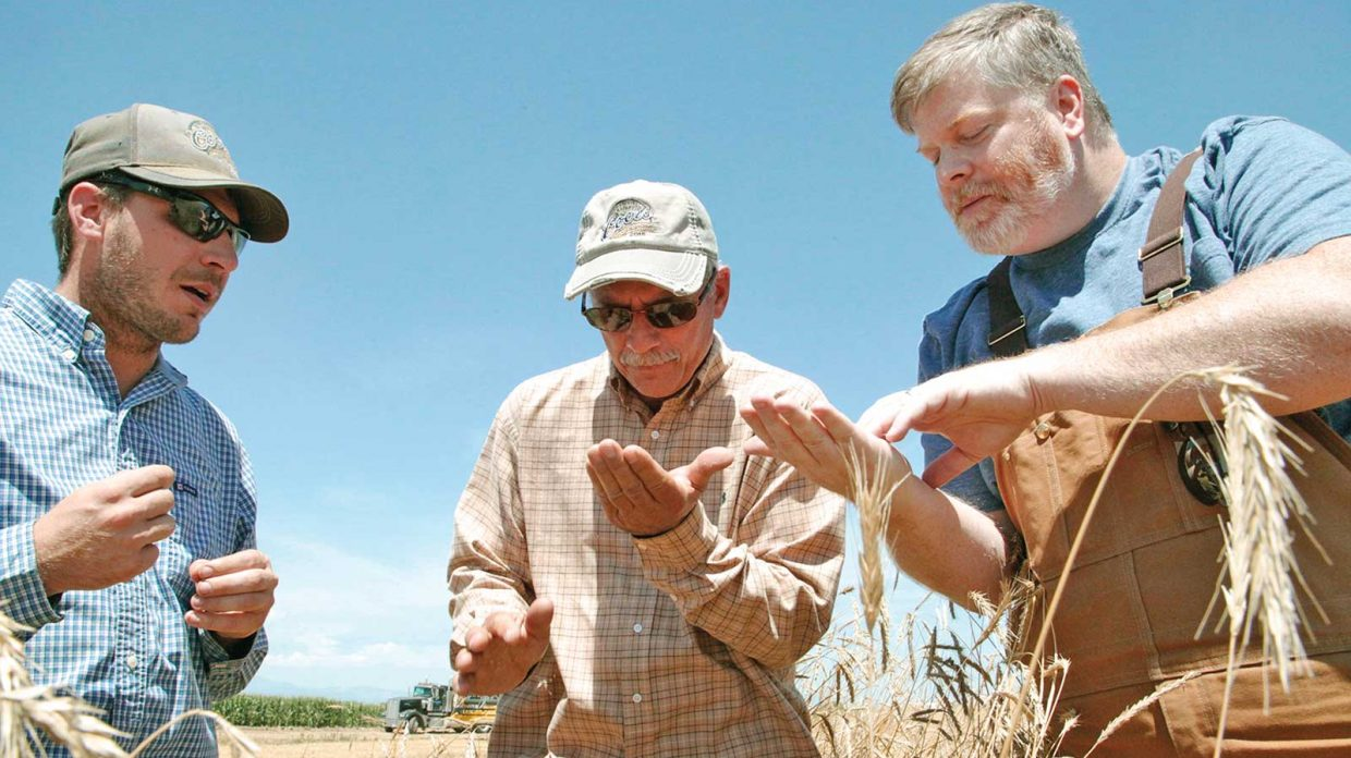 Todd Leopold, distiller and co-founder at Leopold Bros. in Denver, inspects rye with farmers in a field under blue skies at Schlagel Farms.