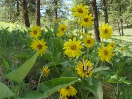 Balsamroot  5-23-03 120 small