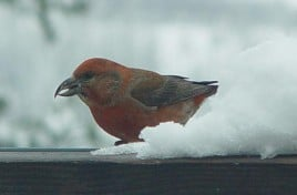 Birds 153 winter crossbill at B&B