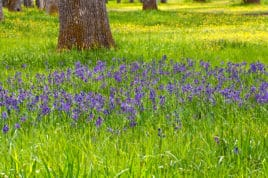 purple wildflowers in grassy field