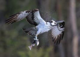 an osprey shaking offwater after catching a trout