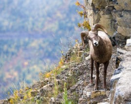 a big horn sheep on a steep canyon with autumn vegetation in the background