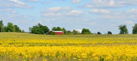 Large open field of yellow flowers and a bright red barn with white roof in the background