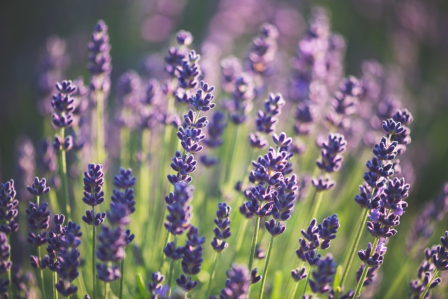 Tour These Incredible Lavender Farms in Sequim, Washington