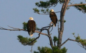 Bald Eagles Nesting at Squam Lake