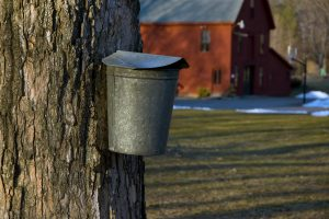 Maple Syrup Production in the Lakes Region of New Hampshire