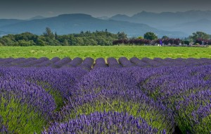 retire in Sequim Lavender Festival