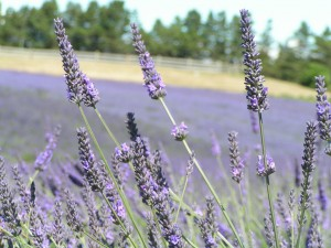 Lavender fields at the Lavender Festival