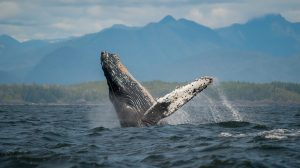 Whale Watching Season in Sequim and Port Angeles