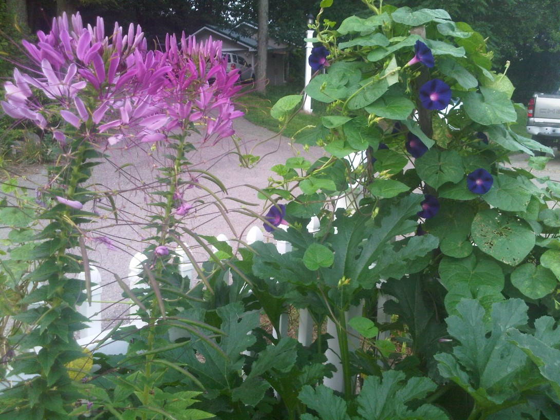Morning Glories and Cleome