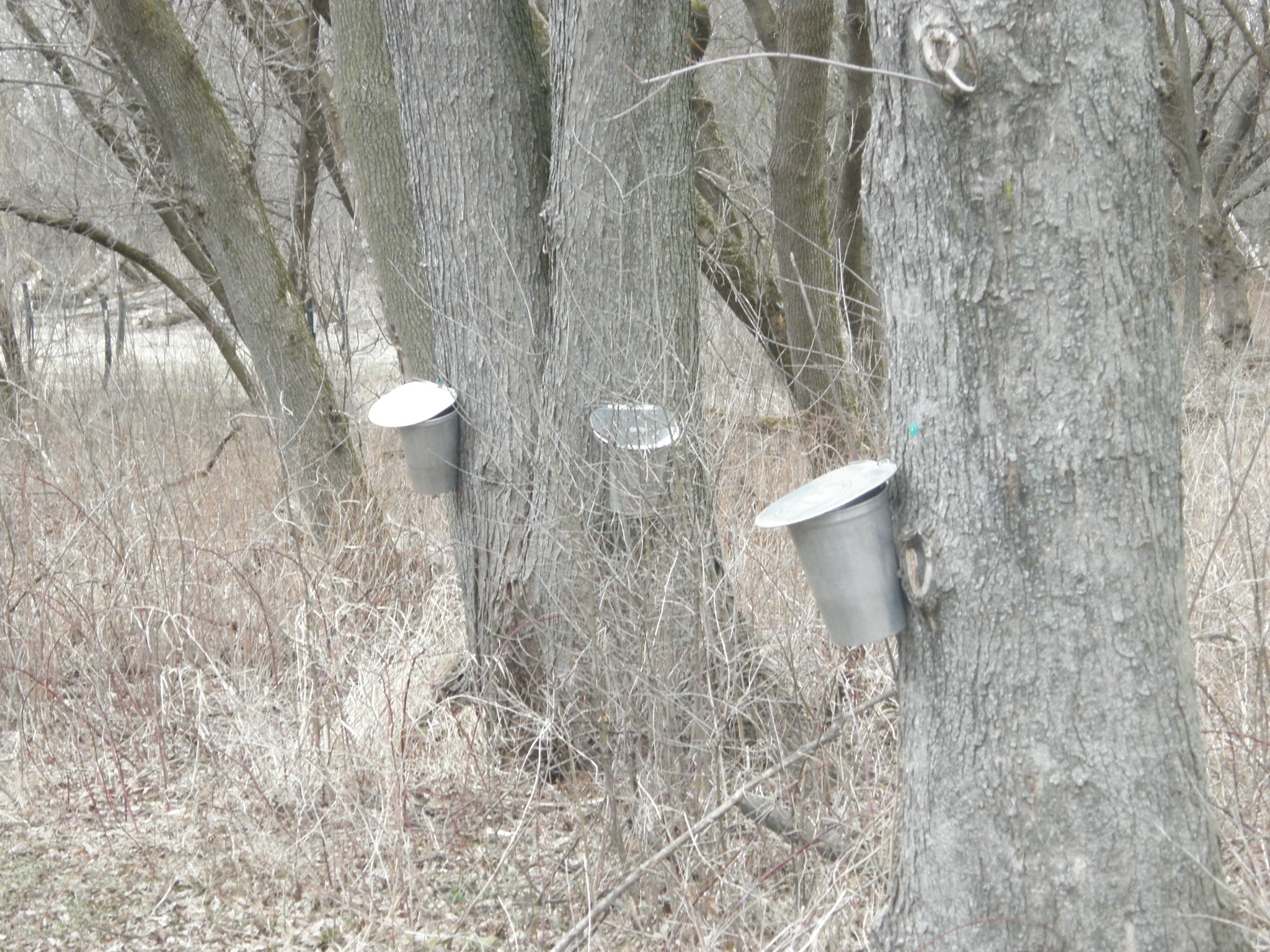 Making Homemade Maple Syrup