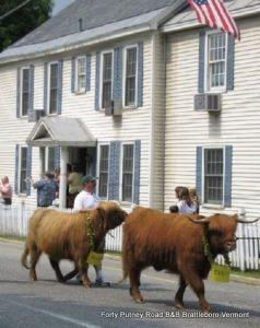 Strolling of the Heifers in Unique Brattleboro