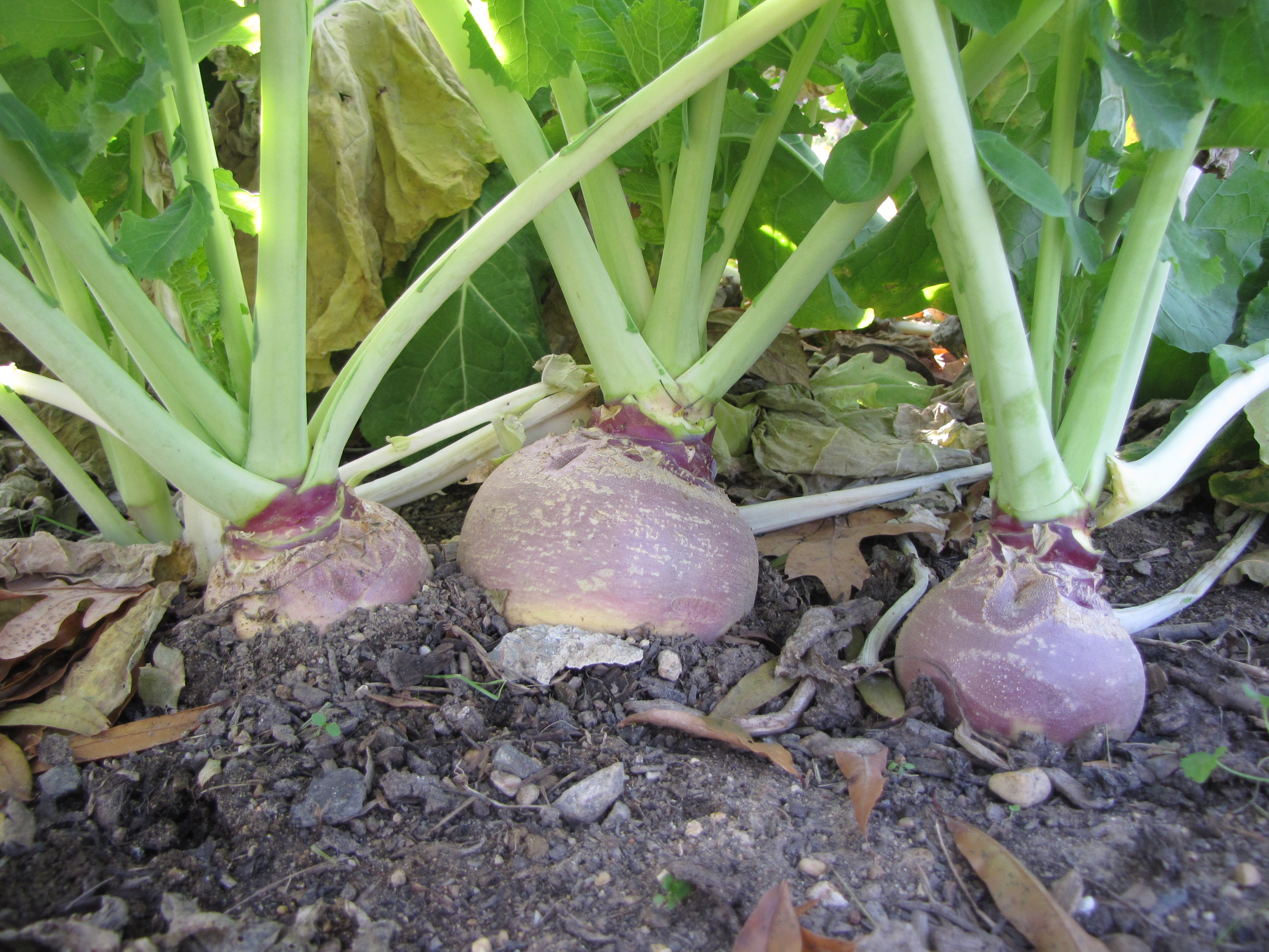 Rutabaga George Washingtons Mount Vernon