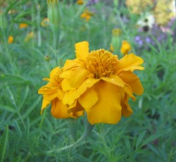 Search results george washingtons mount vernon african marigold tagetes erecta this upright yellow flowering plant mightylinksfo
