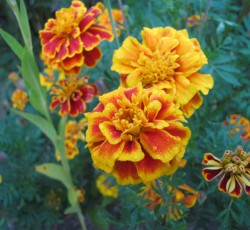 Search results george washingtons mount vernon french marigold mightylinksfo