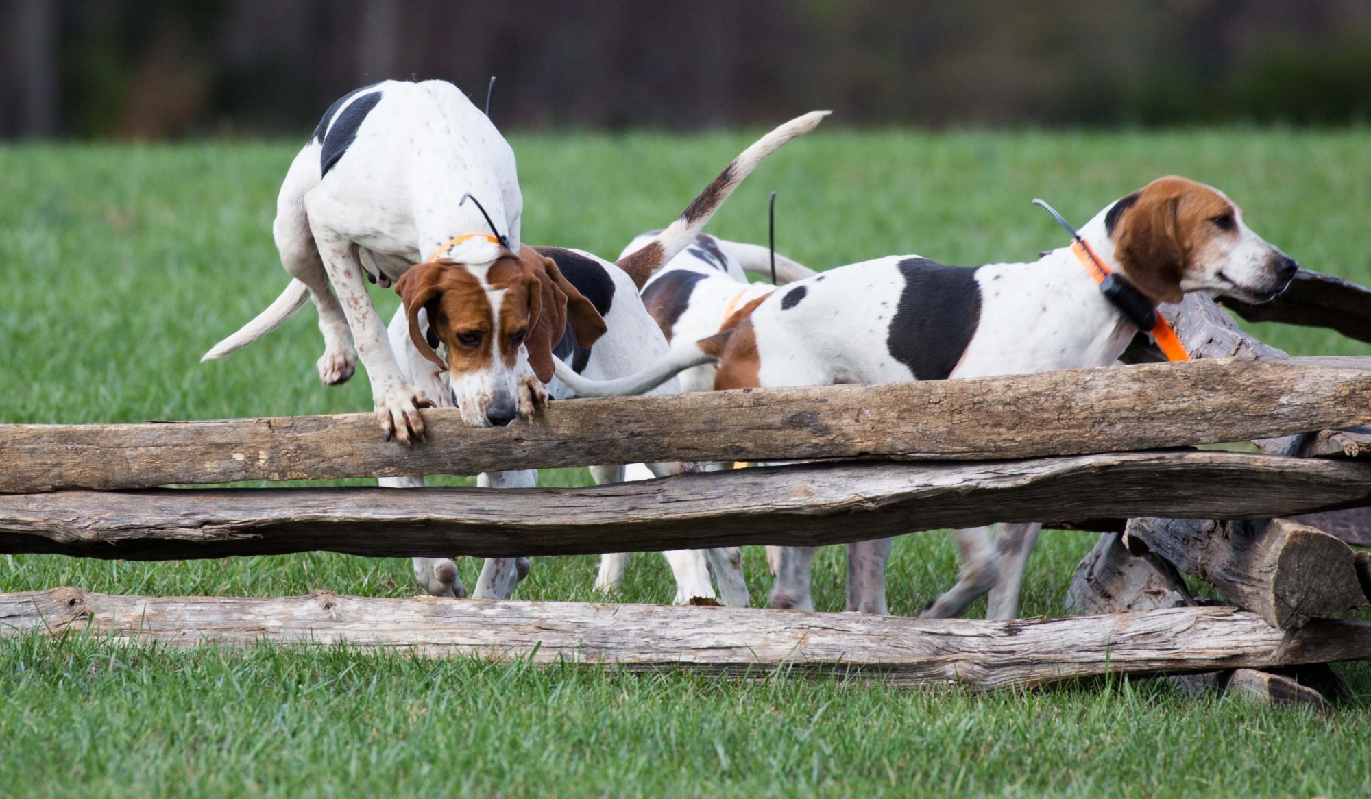 BEAGLES HORSES HOUR OF MEETING DOGS HUNT FOX HUNTING