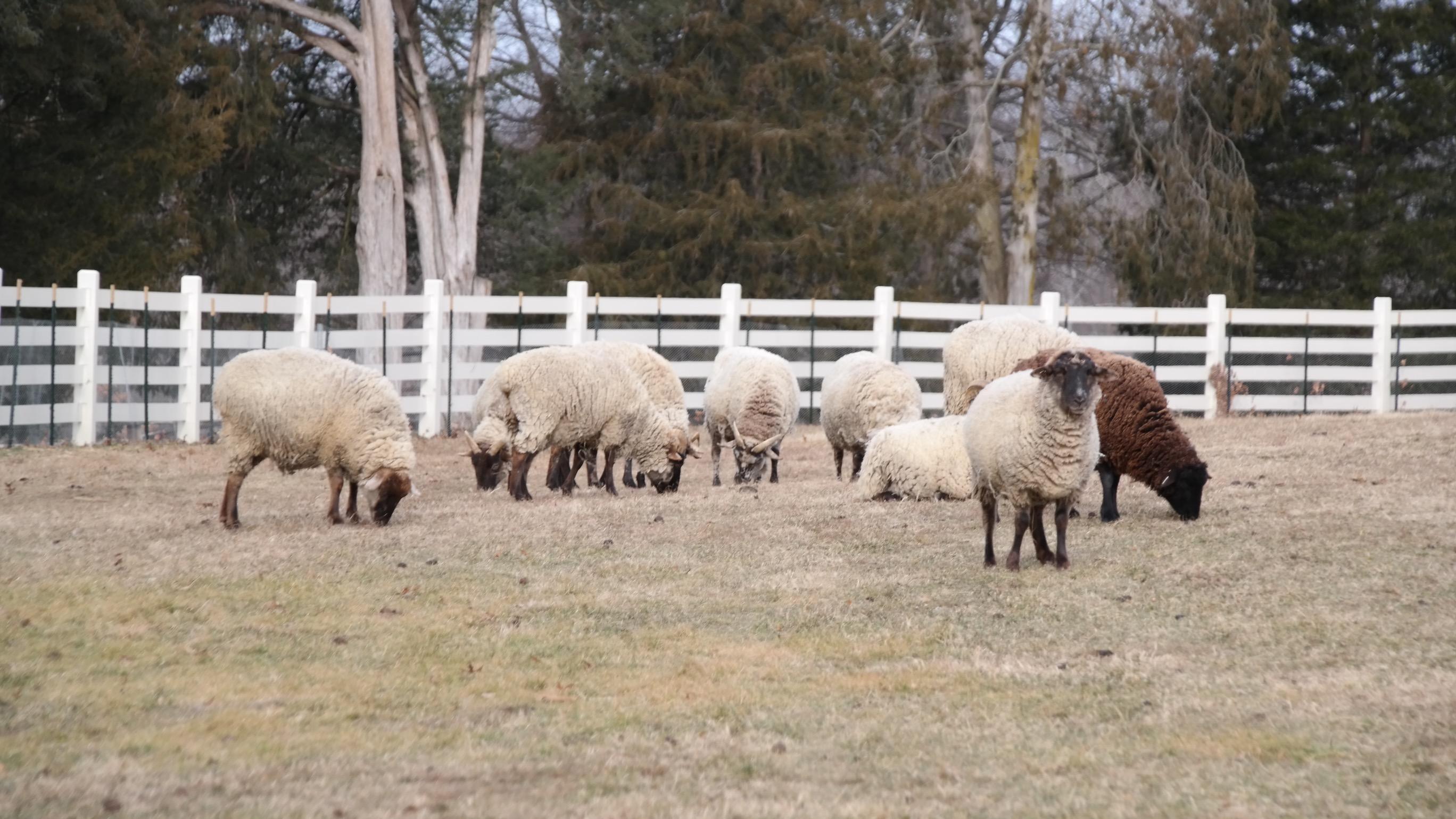 restocking mount vernon s barnyard with rare breeds george