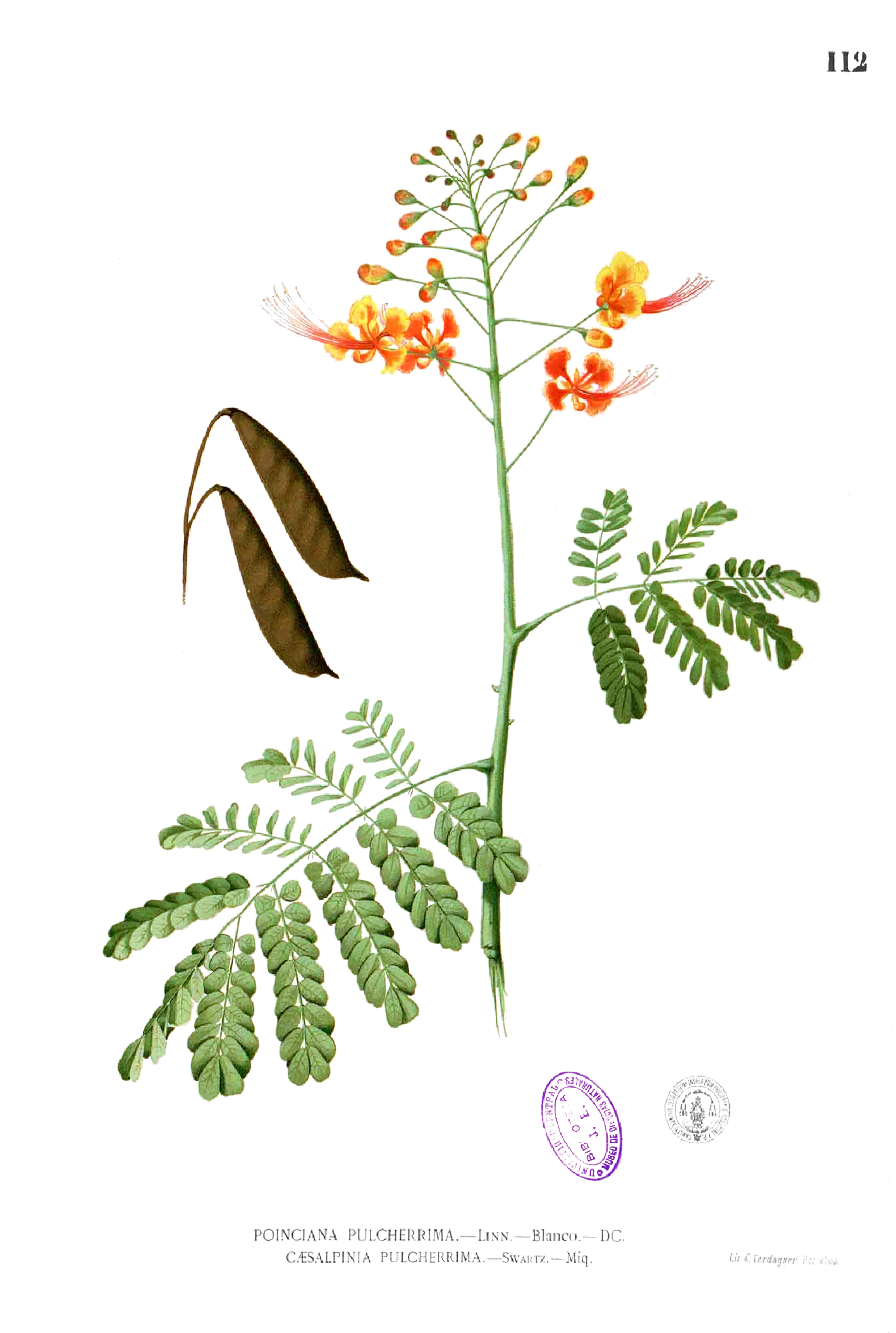 Plate illustration from Flora de Filipinas, c. 1880 (Wikimedia)