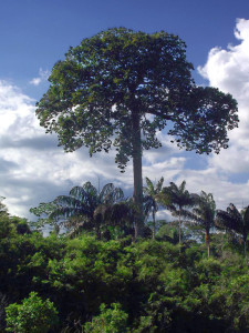 brazil_nut_tree