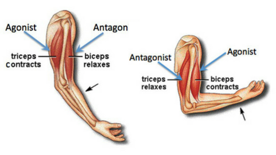 ANTAGONIST PAIRED SETS: A POWERFUL TOOL FOR MUSCLE GROWTH