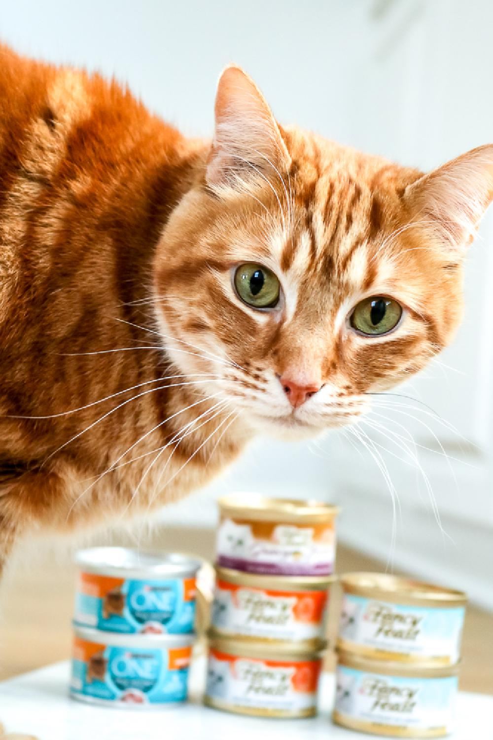 Orange Cat standing in front of small cans of Fancy Feast wet cat food by Purina