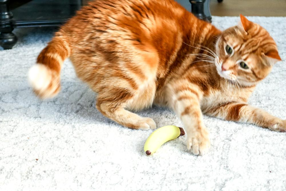 Orange Cat playing with a Plastic Banana