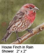 House Finch in Rain Shower c